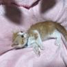 約2ヶ月 茶白猫男の子