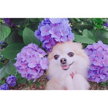 紫陽花とシェリ