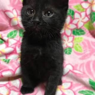 やんちゃな黒猫ブルーくん生後2か月