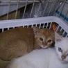 茶トラ子子猫2か月(メス)美猫さん
