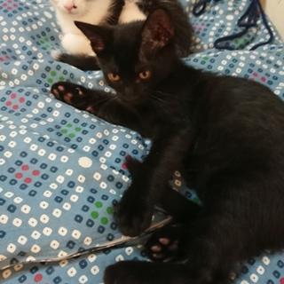 生後2ヶ月~3ヶ月 黒猫2匹の子猫 健康手帳付