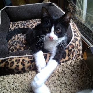 元気なハチワレ白黒の子猫。