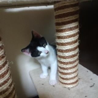 優しい性格の白黒ハチワレの子猫。