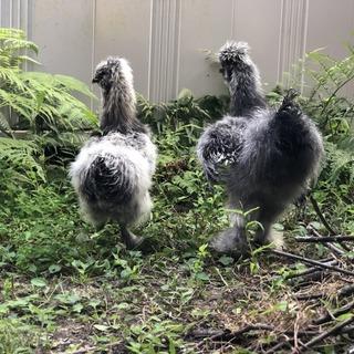 烏骨鶏 アメリカンシルキー オス 2羽