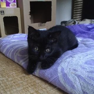 穏やかな性格の黒猫の子猫