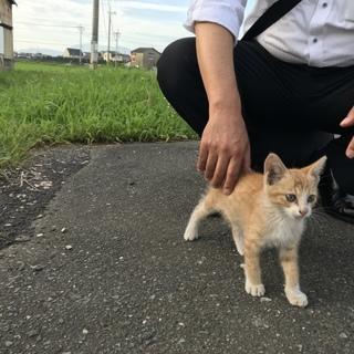 茶トラ♀メスの子猫