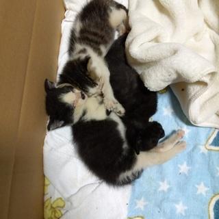 生後1ヶ月オス猫3匹