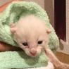 【急募】 生後2週間の子猫の里親募集!
