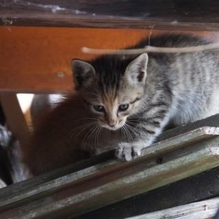 生後2か月ミケ野良猫の子5匹 (5月4日生まれ)