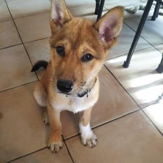 日本犬ミックス4ヶ月の男の子 里親募集❗️