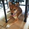 日本犬ミックス4ヶ月の女の子 里親募集❗️