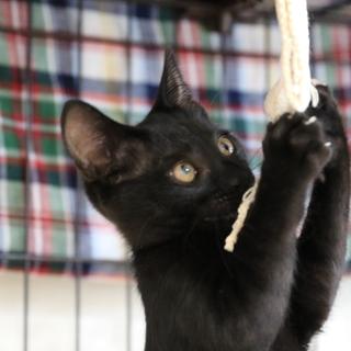保護猫ショウマ君。立派な黒猫になるでしょう!