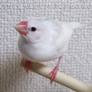 白文鳥、生後3ヶ月になります(,,・θ・)♡