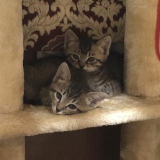 生後2か月キジトラ兄弟