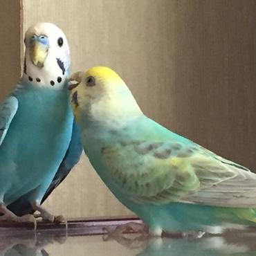 2018/7/13 先住鳥のレモンちゃんが優しく接してくれています。ミントくん良かったね〜