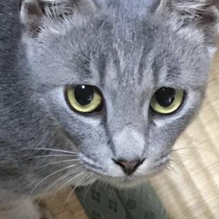 ロシアンブルー風 子猫5カ月