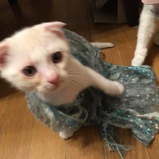 純血のスコティッシュの子猫