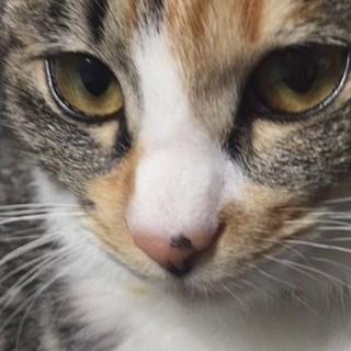◆人馴れ抜群!抱っこも大好き超甘えん坊の三毛猫◆