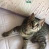 キジ虎の男の子2ヵ月
