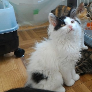 懐っこくなりました!長毛2ヶ月の美猫くん