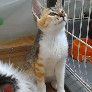気品溢れる三毛猫ちゃん、大人しく穏やかな性格です