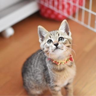 明るい毛色の美猫【七香】