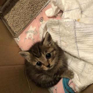 かわいい子猫ちゃん   綺麗なキジトラ