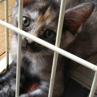 生後2か月サビ子猫♀