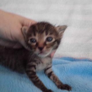かわいい赤ちゃんキジトラありあなちゃん 離乳中