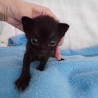 かわいい赤ちゃん黒猫まらいあちゃん離乳中