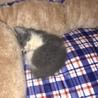 急募!生後1ヶ月前後のメス猫