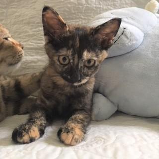さび猫 ♪ ひょっこりちゃん 4ヵ月