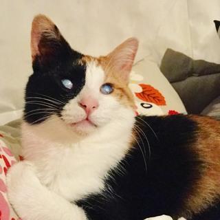 目が見えなくてもおちゃめでかわいい!小柄な三毛猫