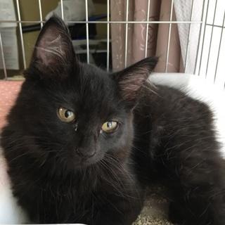 超めずらしい黒キジの長毛の子猫ちゃん オス