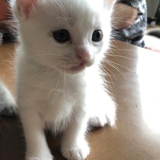 真っ白な子猫ちゃんの里親募集