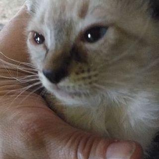 シャム系生後1カ月♂ お耳が大きいハンサム