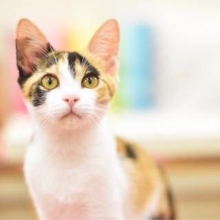 個性派美猫【シオちゃん】