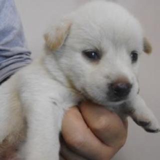 里親様を待っています。子犬♀白