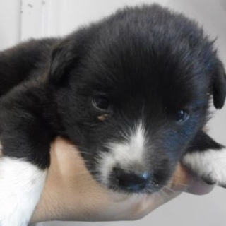 里親様を待っています。子犬♀黒白