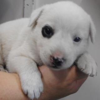 里親様を待っています。子犬♀白黒