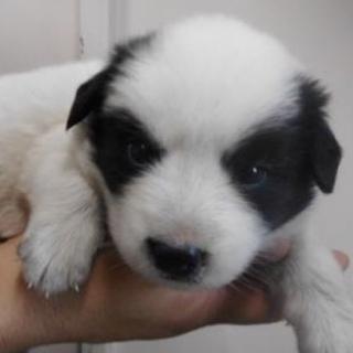 里親様を待っています。子犬♂白黒