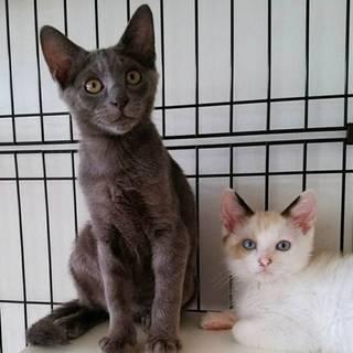 ラグドール風ママとその可愛い子猫たち