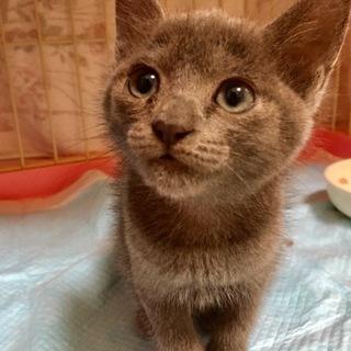 ロシアンブルー風 子猫のシャミちゃん