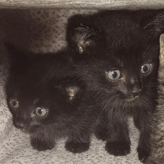 黒猫の兄妹です!里親募集してます!