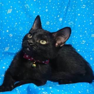 【7/22東日本橋】3ヶ月半♡黒猫の流星くん
