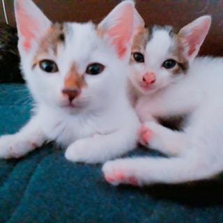 可愛い子猫兄弟 オス二匹!