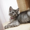 長毛グレーの美人子猫さん♪