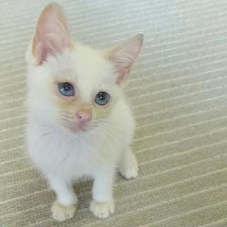 ブルーアイの元気な子猫