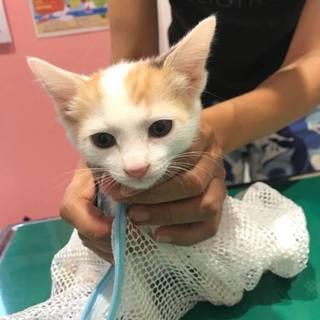 三毛猫姉妹チトちゃん、完璧な人なれ、医療済