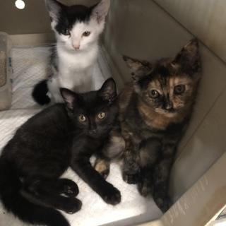 延長中!サビ・白黒・黒の可愛い3姉妹♡黒猫内定